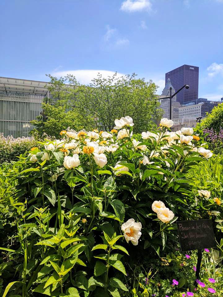 White Peonies in Millennium Park