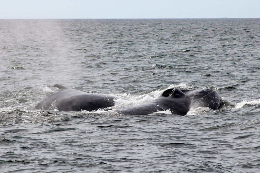 two male humpbacks are fighting in the water