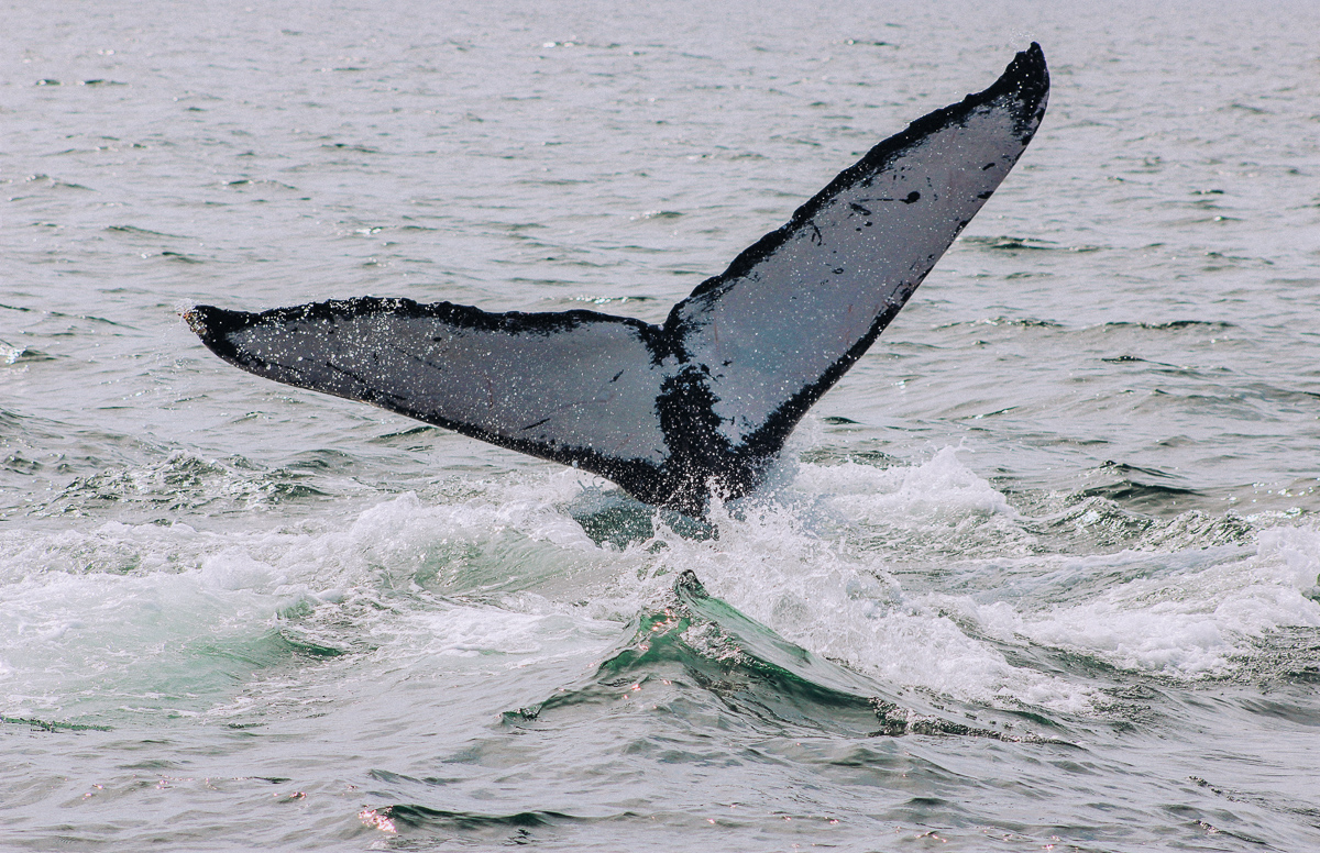 Humpback Whale tail in the Bay of Banderas
