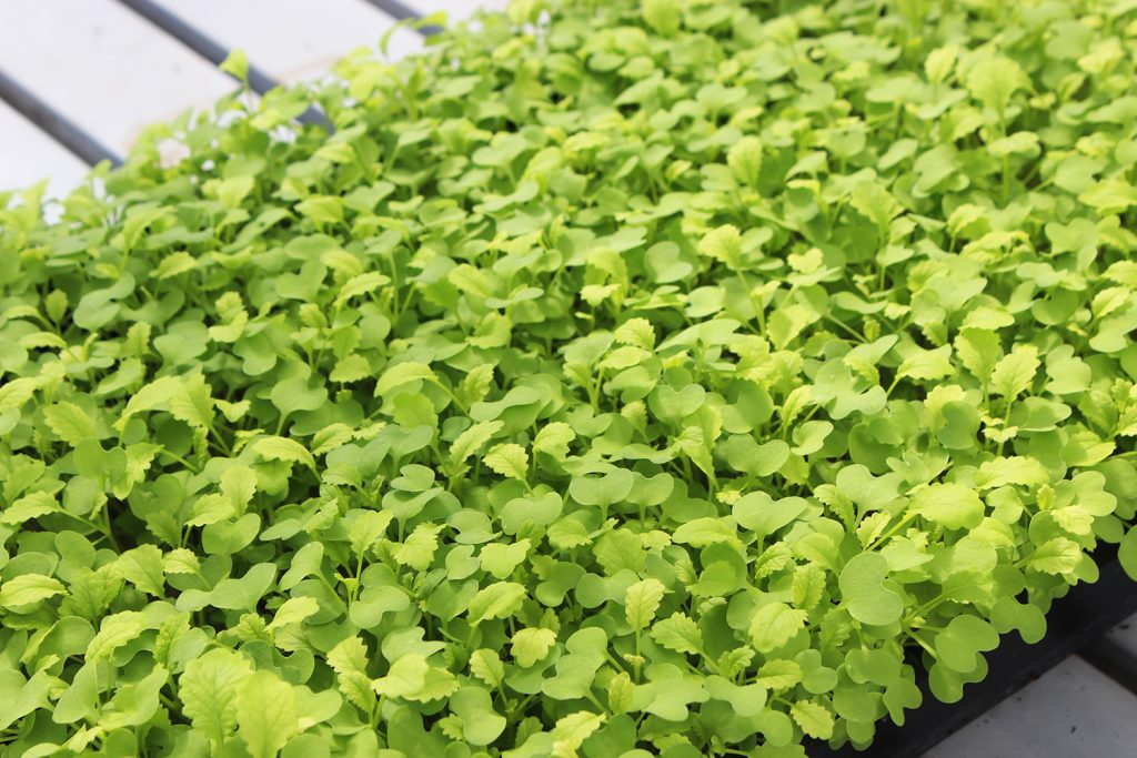 Plants grow in the hydroponic greenhouse at Brightwater