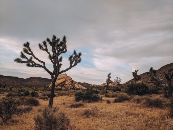 Joshua tree and boulders in Joshua Tree National Park