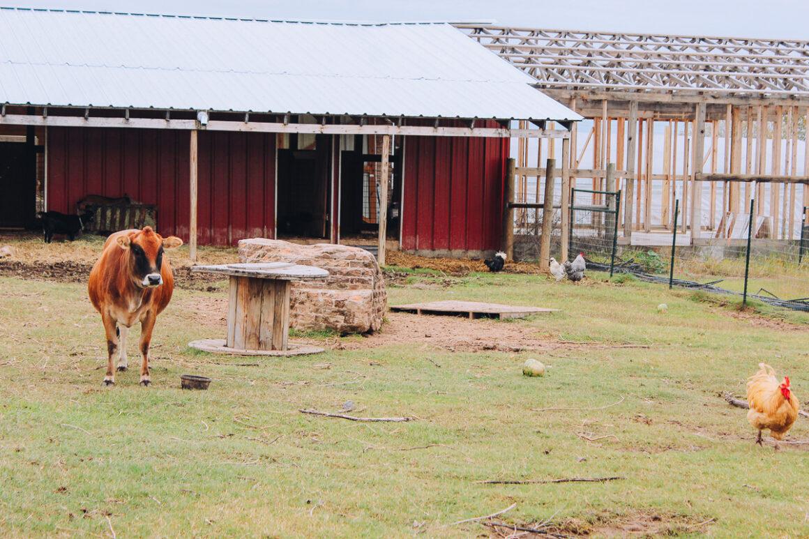 Cow and chicken at Heifer Urban Farm Little Rock, Arkansas