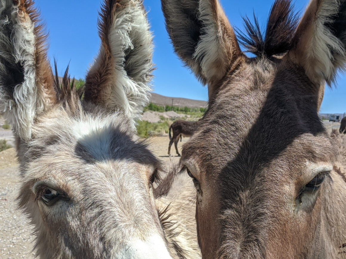 Two wild burros in Beatty Nevada